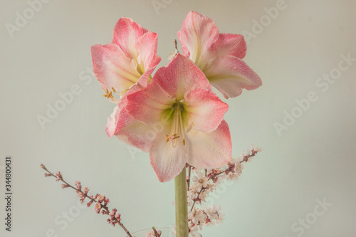 Hippeastrum (amaryllis) Galaxy Group Caprice and flowering apricot branches on Canvas Print
