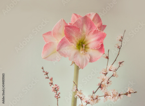 Photo Hippeastrum (amaryllis) Galaxy Group Caprice and flowering apricot branches on