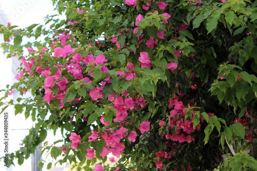 Flores rosas de buganvilla Wallpaper Mural