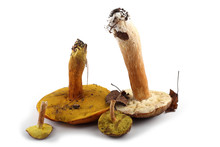 Different Boletus Mushrooms