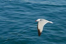 Audouin Seagull Flying Over Th...
