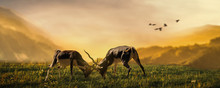 Two Deer Stags Fighting On Gra...