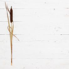 Freshly Cut Bulrush Cane On A ...