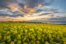 Rapeseed Field At Sunset, Bloo...