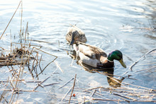 The Ducks Arrived In The Sprin...