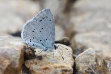 Holly Blue Butterfly On A Grou...