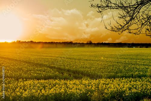 Fototapeta zachód słońca nad polem rzepaku obraz