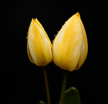Two Yellow Tulips With Raindrops
