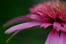 Echinacea Pink, Flower In The ...