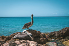 Two Caribbean Pelicans Sitting...