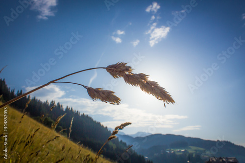 Photo Detail of perennial grass with sun backlight and blue sky