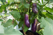 Eggplant Or Aubergine Is Also Known As Brinjal. The Fruit Is Popularly Used As A Side Dish And Vegetable.