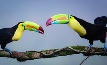 Midsection Of Two Toucans Faci...