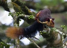 The Indian Giant Squirrel, Or ...
