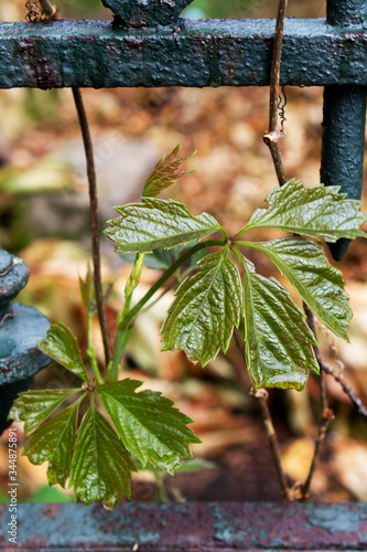 Photo Green spring leaf of grape growing through strong metal grid house fence freedom