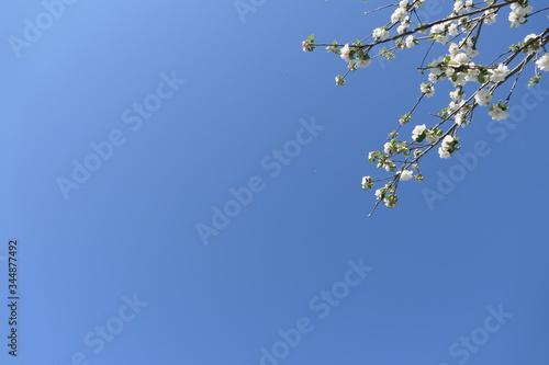 Blühender Apfelbaum mit viel Himmel Wallpaper Mural