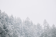 Pines And Spruces, Fir-trees C...