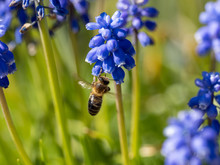 Bee On A Muscari Armeniacum