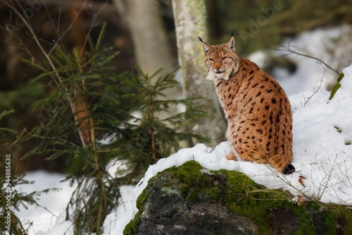 Vászonkép View of a curious wildcat looking for something interesting in a snowy forest on