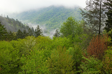 Fototapeta Drzewa Spring landscape in fog of forest, Great Smoky Mountains National Park, North Carolina, USA