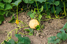 Orange Pumpkin With Great Tend...