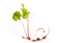 Medicinal Herb Wood Sorrel (Oxalis Acetosella, Shamrock) Isolated On White Background. Wild Flower With Heart-shaped Leaves, Root And Flower Bud, Close Up