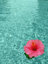 Pink Hibiscus Flower In Swimming Pool