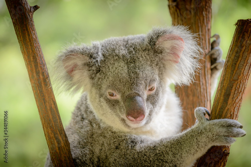 A Koala in Queensland, Australia. Canvas Print