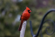 Closeup Shot Of A Red Cardinal...