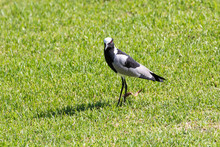 Blacksmith Lapwing, Or Blacksmith Plover, Vanellus Armatus, Breede River, Western Cape, South Africa,
