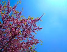 Judas Tree Blossom In Spring