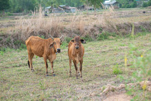 Two Cows With A Slim Body