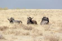Some Buffalo Animals In Namibi...