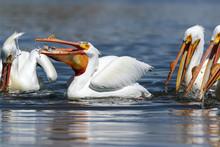 American Pelican Fishing