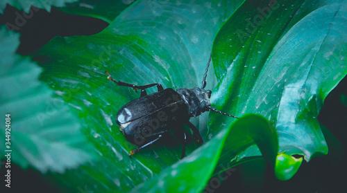 Fotografie, Obraz Macro Fotografía de un gran escarabajo negro descansando en la hoja de un tulipán
