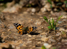 Red Admiral Butterfly On Stone Ground Beside A Small Green Plant