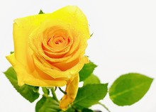 Water Droplets On Petals Of Yellow Rose And Green Leaves Isolated