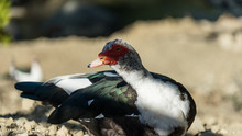 Close-up Of A Muscovy Duck In ...