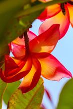 Fleur De Vahiné