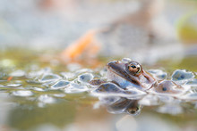 The Common Frog, Rana Temporar...
