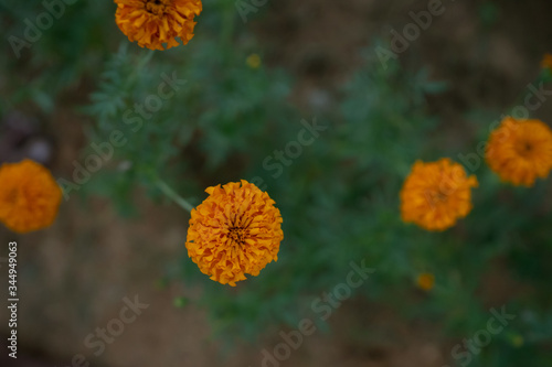 Photo Few Mexican marigold Flower Trees