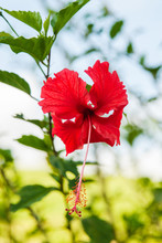 Red Hibiscus Flower, Arenal, C...