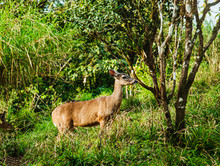 Deer In The Forest, Arenal, Costa Rica, Central America