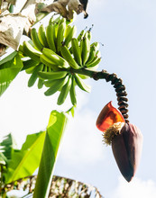 Tropical Flower On A Banana Tr...