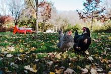 Fall Chickens