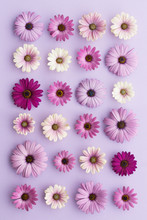 Purple Daisy Collection