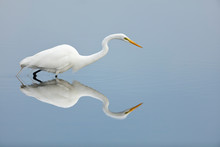 Great Egret Hunting In Wetland