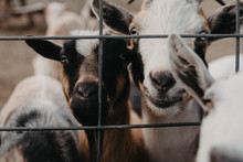 A Group Of Curious Goats At A ...