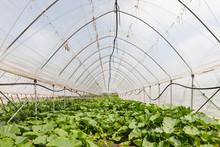 Organically Grown Pumpkin Plants In Greenhouses