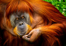 Portrait Of Sumatran Orangutan